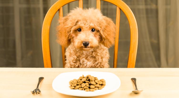 Cachorrinho fofo sentado na mesa, observando um prato de ração