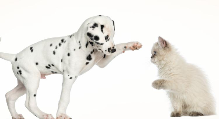 Cachorrinho brincando com um gatinho em um fundo branco
