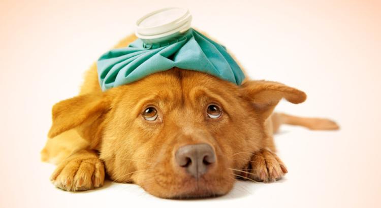 Cachorro doente com bolsa de gelo na cabeça