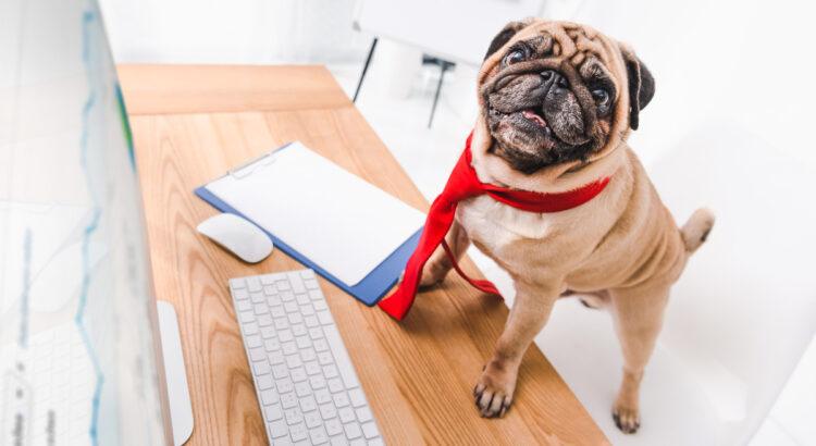 cachorro pug de gravata